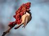 Black-capped Chickadee (BCCH) (kevingilesbirds) Tags: sumac kevingiles january72017 ebird feeding flickr blackcappedchickadee