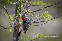 Woodpecker and Wasp's Nest (tclaud2002) Tags: woodpecker redbelliedwoodpecker bird wildlife nature mothernature outdoors wasp nest waspnest tree cypresscreek naturalarea cypresscreeknaturalarea jupiter florida usa
