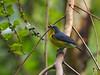Crimson-bellied Flowerpecker - Male (WilliamPeh) Tags: olympus omd em1 birds birding wild wildlife crimson bellied flowerpecker