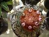 Melocactus (Sereiazinha Si) Tags: melocactus cactus cactos cactaceae planta plant suculenta suculent fruit fruto simetria padrãoorgânico beleza brasil brazil sorocaba sãopaulo