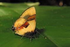 Calycopis buphonia (hippobosca) Tags: butterfly calycopisbuphonia lycaenidae peru insect lepidoptera hairstreak macro