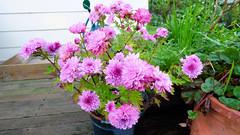 Jack's chrysanthemum (Sandy Austin) Tags: panasoniclumixdmcfz70 sandyaustin massey westauckland auckland northisland newzealand purple chrysanthemum