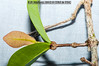2012-10-12 TEC-0891 Chamguava gentlei - E.P. Mallory (B Mlry) Tags: 2°3°leafveinsimmersedunderneath tec brtreturn belize belizedistrict belizezoo brokenridgetrail chamguavagentlei collected20121012 collectorepmallory flora idd leavesopposite leafstructure myrtaceae pineridgespice simpleleaf tbz tecspecimens tropicaleducationcenter brochidodromousvenation closeup collectingvein crosssection exsitu foliage habitat knobbystem leavesglabrous pellucudpunctations pulvinusorthickenedpetioles stem syneugeniagentlei tallos wingedstem woody youngorfreshleaves democracia