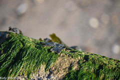 Weedy (Katy Wrathall) Tags: 2018 eastriding eastyokrshire england fraisthorpe january beach coast seaside winter
