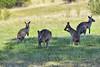 Kangaroos-1 (johnaalex) Tags: canberra australia d850 kangaroo marsupial nikonafs80400f4556g