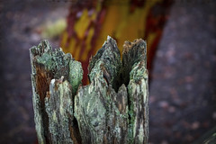 Beauty of Decay (Colormaniac too - Many thanks for your visits!) Tags: decay nature fencepost cedarfence age macro closeup outdoors colorful aging olympicpeninsula washingtonstate pacificnorthwest topazstudio topaztextureeffects netartll hss