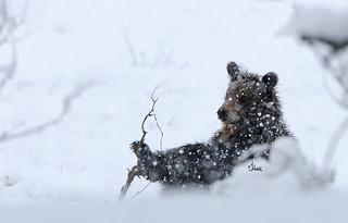 Grizzly Cub Enjoying a Springtime Snow Day - 3354b+
