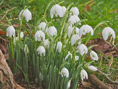 The First Spring Flowers ... (Irene, W. Van. BC) Tags: thefirstspringflowers snowdrops white whiteflowers whitepetals whiteblossoms whiteblooms springflowers springblossoms springblooms springpetals wonderfulnature beautifulnature flowerpower allflowers wonderfulflowers wonderfulpetals wonderfulblooms beautifulflowers beautifulpetals green grass greenery park parkscenes outdoors outdoorscenes 1001nights 1001nightsmagiccity 1001nightsmagicgarden