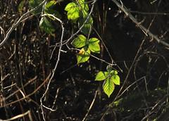 IMG_6529 (Benny Hünersen) Tags: kolding christiansfeld taps januar january 2018 blade leaves leaf lys light licht blatt