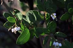 J20180125-0026—Arctostaphylos manzanita ssp elegans—RPBG (John Rusk) Tags: ebparksok taxonomy:kingdom=plantae plantae taxonomy:subkingdom=tracheophyta tracheophyta taxonomy:phylum=magnoliophyta magnoliophyta taxonomy:class=magnoliopsida magnoliopsida taxonomy:order=ericales ericales taxonomy:family=ericaceae ericaceae taxonomy:subfamily=arbutoideae arbutoideae taxonomy:genus=arctostaphylos arctostaphylos taxonomy:species=manzanita taxonomy:binomial=arctostaphylosmanzanita taxonomy:trinomial=arctostaphylosmanzanitaelegans arctostaphylosmanzanitaelegans konoctimanzanita taxonomy:common=konoctimanzanita