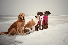 6/52 Albert & Friends on a chilly morning out (Jutta Bauer) Tags: beach cold snow ice winter together friends dogs rhodesianridgeback boxermix goldenretriever albert 52weeksfordogs 52weeksforalbert
