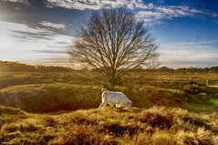Cow and Tree in the middle (metsemakers) Tags: cow tree heide koe boom sony alpha nex