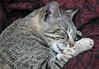 CATS36 (Glenn Losack, M.D.) Tags: cats animals sleeping felines gato photojournalism glenn losack