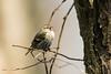 The Voice (Jacques GUILLE) Tags: oiseau domainedesoiseaux tarindesaulnes femelle 09 ariège carduelisspinus eurasiansiskin fringillidés mazères passériformes bird calmont occitanie france fr