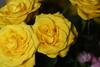 DSC_8850 Roses (PeaTJay) Tags: nikond750 sigma reading lowerearley berkshire macro micro closeups gardens indoors nature flora fauna plants flowers bouquet rose roses rosebuds