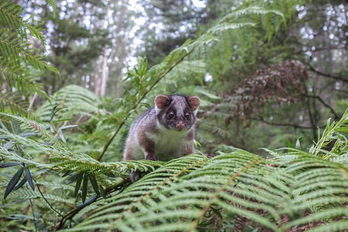 Ringtail Possum 1 by r reeve, on Flickr