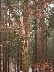 inline (michaelmueller410) Tags: wald forest trees spruces fir spruce snow winter broken harz südharz beech buche fichte fichten baumstumpf baumstamm stämme holz totholz germany lowersaxony