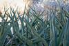 The Living Desert (Robert Borden) Tags: succulent desert green palmdesert thelivingdesert botanicalgarden canon canonrebel canonphotography garden socal california cali southwest usa northamerica