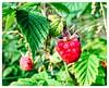 Raspberry (annehukkanen) Tags: raspberry berry summer