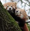 red panda Blijdorp BB2A8940 (j.a.kok) Tags: panda redpanda rodepanda kleinepanda blijdorp animal mammal asia azie china zoogdier dier