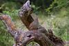 Natal Spurfowl (leendert3) Tags: leonmolenaar wildlife nature birds krugernationalpark southafrica natalspurfowl ngc npc coth5