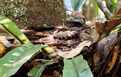 Collared (LeftCoastKenny) Tags: madagascar day14 andasibe andasibenationalpark bird leaves tree nest