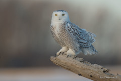 A change in perch (Earl Reinink) Tags: owl raptor bird animal field pose posing earl reinink earlreinink snowyowl niagara oizdraudza