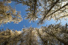 20180221_4487_Vigala larch alley (Enn Raav) Tags: vanavigala vigala larch lehis sky taevas nature tree estonia