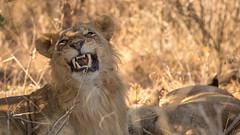 Nairobi-Nationalpark-1832 (ovg2012) Tags: kenia kenya nairobi nairobinationalpark