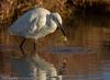 Opss... (Jokermanssx) Tags: stagno di santa gilla capoterra cagliari sardegna egrettagarzetta egret