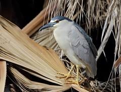 1DX10468 View Large. Black-crowned Night-Heron. Kaanapali Maui, Hawaii (E.W. Smit Wildlife.) Tags: gitzo gitzotripod g1325mk2 gitzog1325mk2 gitzog1325mk2tripod wimberley wimberleygimbalheadwh200 wimberleygimbalhead wimberleywh200 gimbalhead ef500mmf4lis ef500mmf4lisusm canonef500mmf4lisusm wildanimals tourist tourists telephotolens tripod unitedstatesofamerica usa outdoors outdoor supertelephotolens island bird birds ocean pacificocean animal avian animals wildanimal hawaii mauihawaii maui mauimarriottsoceanclub canon nature wildlife blackcrownednightheron nightheron heron canoneos1dx 1dx canon1dx canonef500mmf4lis canonef14xextenderii canonef14x canonef14xextender 14x eos1dx kaanapali kaanapalimaui park parks lake rookery