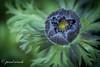 Waiting to flower (pearl.winch) Tags: 26thjanuary2018 anemone gardenmacro helleborus 7394 waitingtoflower blue