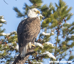 bald Eagle in Snow NJ Shore see full size Canon 5DS (Mike Black photography) Tags: bald eagle bird nature photo photography nj new jersey shore canon 5ds r 800mm lens is l usm snow winter weather birding raptor mike black