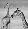 giraffe portrait ~a (andré & riette) Tags: giraffe giraffacamelopardalis kameelperd etoshanationalpark namibia