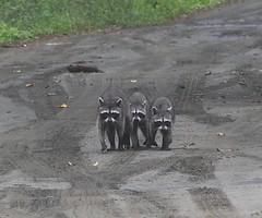 P2010316 (davidpetergibbins) Tags: three raccoons raccoon costa rica