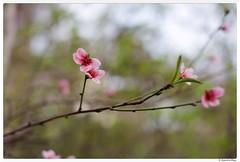 20180220-002 (Aaron Cat) Tags: aaronhsu canon eos 5d markiii canoneos5dmarkiii carlzeissplanart1450 50mm flowers sakura chupei hsinchu taiwan 新竹 竹北 台灣 tree macro flower