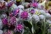 Klettenblüten (tama*) Tags: garten juli wildpflanze strauss