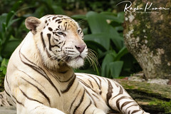 White Tiger, Singapore Zoo (rvk82) Tags: 2016 animals animalsbirds december december2016 nikkor200500mm nikon nikond500 rvk rvkphotography raghukumar raghukumarphotography singapore singaporezoo wildlife rvkonlinecom rvkphotographycom sg