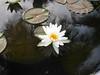 บัวลูกผสมข้ามสกุลย่อย 'ยาคูล' Nymphaea 'Yakult' HxT (Intersubgeneric) Waterlily TH6 (Klong15 Waterlily) Tags: yakultwaterlily waterlily waterlilies landscape landscapes pond pondplant hxtwaterlily lotus lotusflower flowerlover บัวลูกผสมข้ามสกุลย่อย บัว ดอกบัว