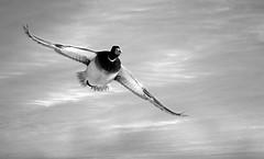 Cruising Mallard (imageClear) Tags: bif mallard fly wings blackandwhite bw winter nature wildlife aperture nikon d500 80400mm imageclear flickr photostream