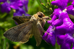 (Soumendra1989) Tags: d7000 nikon dslr micro nikor prime extension tube buglife flickr india butterfly moth rest