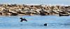 EiderandSeal (HallieDaly) Tags: ythan estuary scotland united kingdom birds ornithology merganser redbreasted goo sander common eider seal wildlife
