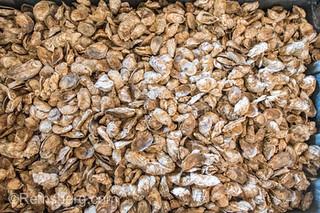 Large heap of fresh oysters, Cambridge, Maryland.