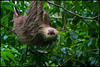Oh, hello.. (G. Postlethwaite esq.) Tags: costarica centralamerica eyes facce forest fur nose 2toedsloth animal
