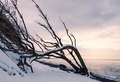 Winter an der Ostsee (Petra Runge) Tags: schnee winter ostsee ahrenshoop strand küste landschaft natur outdoor landscape nature coast beach baum tree sunset sonnenuntergang