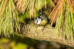2018 02 15 cyanistes caeruleus@cussignacco-0145 (- Stefano Benedetto -) Tags: birdwatching nature birds wildnature cyanistescaeruleus