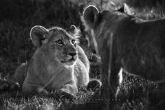 Mara Triangle, Masai Mara. Kenya. (Raúl Barrero fotografía) Tags: lion simba wild africa masaimara