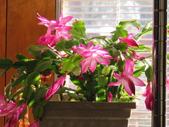 One of Mom's Christmas cacti (debstromquist) Tags: christmascactus cacti floweringplants plants momshouse holidays thanksgiving plano il illinois