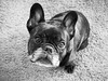 01-19-18 (3008) Quick Shot (Lainey1) Tags: 3008 3008oz 365 theninthyear 011918 bw monochrome oz ozzy dog ozymandias lainey1 bulldog frenchbulldog zendog frogdog ozzythefrenchie frenchie sony rx100 rx100v sonyrx100v