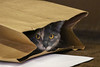 Cat in Paper Bag (BenG94) Tags: milton wisconsin canon 7d markii cat paperbag